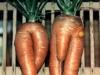 66_mretmme-carotte.jpg